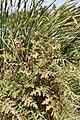 Solanum arundo? (Solanaceae) (49332479833).jpg