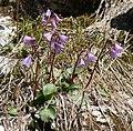 Soldanella alpina 250708.jpg