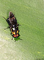 Soldier fly (Stratiomyidae) taking up liquid, ♂ (5245732116).jpg