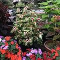 Solenostemon scutellarioides cultivars public domain IMG 4774.jpg