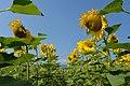 Sonnenblumen Biohof Tomic 18072014 683.jpg