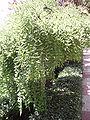 SophoraJaponicaVarPendulaTree.jpg
