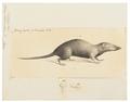 Sorex platycephalus - 1700-1880 - Print - Iconographia Zoologica - Special Collections University of Amsterdam - UBA01 IZ20900129.tif