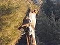 South African Giraffe 13.jpg