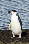 South Shetland-2016-Deception Island–Chinstrap penguin (Pygoscelis antarctica) 04.jpg