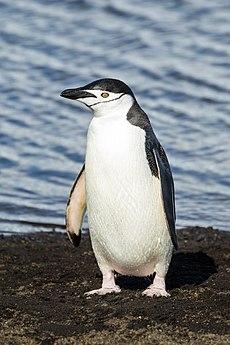 תוצאת תמונה עבור פינגווין