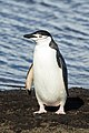 South Shetland-2016-Deception Island–Chinstrap penguin (Pygoscelis antarctica) 04.jpg