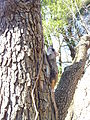 Southern Flying squirrel on tree closeup.jpg