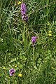Southern Marsh Orchid - geograph.org.uk - 851547.jpg