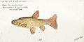 Southern Pacific fishes illustrations by F.E. Clarke 37.jpg