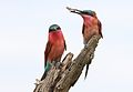 Southern carmine bee-eater, Merops nubicoides, Savuti marsh, Chobe National Park, Botswana (32421990446).jpg