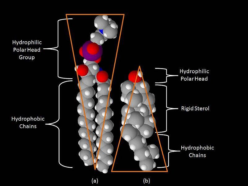 File:Space-Filling Model Sphingomyelin and Cholesterol.jpg