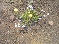 Sparse vegetation on Plaine des Sables (2953649011).jpg