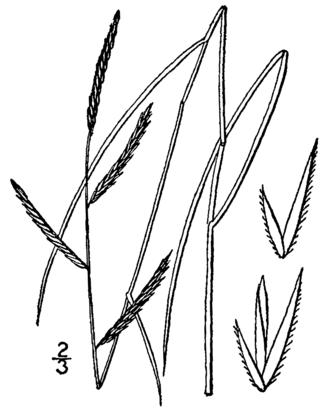 Spartina patens - 1913 illustration