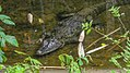Spectacled caiman at the Paramaribo Zoo (31217902941).jpg