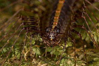 Pselliodidae - Image: Sphendononema guildingii (16056338475)