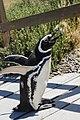Spheniscus magellanicus in punta tombo.jpg