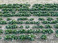 Spinach field in Italy 2.jpg