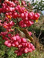 Spindle-tree berries - geograph.org.uk - 569257.jpg