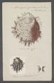 Spondylus gaederopus - - Print - Iconographia Zoologica - Special Collections University of Amsterdam - UBAINV0274 074 10 0003.tif