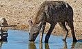 Spotted Hyena (Crocuta crocuta) (6471943557).jpg
