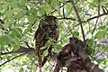 Spotted Owl (Strix occidentalis) (8731994431).jpg