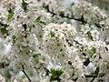 Spring 2008 - Cluj-Napoca (2407498815).jpg
