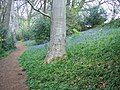 Spring in Wayford Wood - geograph.org.uk - 450690.jpg