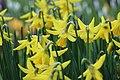 Springtime daffodils (Unsplash).jpg
