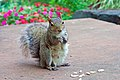 Squirrel with almonds (2896830641).jpg