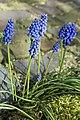 Starch Grape Hyacinth (13268574043).jpg