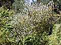 Starr-010423-0052-Bocconia frutescens-fruits-Kula-Maui (24450071551).jpg