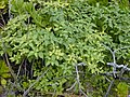 Starr-010520-0076-Solanum americanum-habit-Inland-Kure Atoll (23905967013).jpg