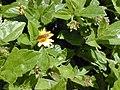 Starr-021012-0070-Sphagneticola trilobata-Hylephila phyleus fierry skipper-Keanae-Maui (23926163653).jpg