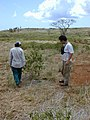 Starr-030429-0075-Myoporum sandwicense-habit-Lua Makika-Kahoolawe (24003481824).jpg