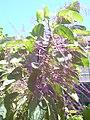 Starr-040405-0202-Charpentiera obovata-flowers-Hoolawa Farms-Maui (24074083103).jpg