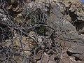 Starr-050404-0011-Schinus terebinthifolius-habit-Mokeehia-Maui (24445871370).jpg