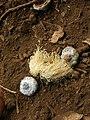 Starr-051123-5465-Eucalyptus globulus-flowers and caps-Haleakala Ranch-Maui (24220958524).jpg
