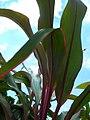 Starr-060916-8961-Cordyline fruticosa-leaves-Makawao-Maui (24497812129).jpg