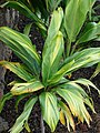 Starr-070302-4953-Cordyline fruticosa-green variegated leaves-Pukalani-Maui (24255319524).jpg