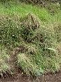 Starr-070908-9438-Erigeron karvinskianus-on steep roadcut-Polipoli-Maui (24265108344).jpg