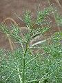 Starr-090421-6195-Salsola tragus-leaves with raindrops-Haleakala Hwy Pukalani-Maui (24321685604).jpg