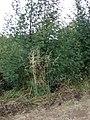 Starr-090519-7995-Bromus diandrus-habit-Kula-Maui (24660073210).jpg