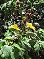 Starr-090609-0359-Tithonia diversifolia-flowers and leaves-Haiku-Maui (24845247192).jpg