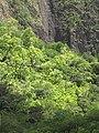 Starr-090720-3157-Aleurites moluccana-habit-Iao Valley Rd-Maui (24944026636).jpg