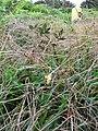Starr-091120-1419-Hypochoeris radicata-flower-White Lightning LZ East Maui-Maui (24990536155).jpg