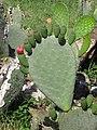 Starr-100331-4037-Opuntia ficus indica-flowers-Kula-Maui (24895445092).jpg