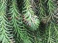 Starr-100430-5552-Araucaria cunninghamii-needles-Iao-Maui (24402168504).jpg