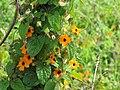 Starr-110201-0533-Thunbergia alata-flowers and leaves-Keokea-Maui (25075394885).jpg