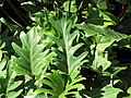 Starr-110215-1340-Philodendron sp-cv xanadu habit-KiHana Nursery Kihei-Maui (24780517350).jpg